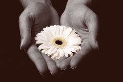 Fiore giallo in mani immagine stock