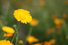 Fiore giallo molto bello fresco Immagine Stock