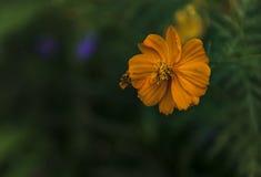 Fiore giallo naturale Fotografie Stock