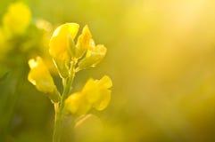 Fiore giallo nei raggi di sole Fotografia Stock Libera da Diritti
