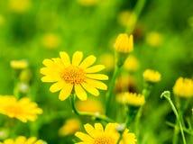 Fiore giallo nel chiangmai reale Tailandia della flora Immagine Stock