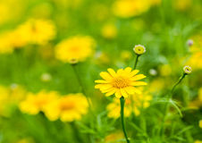 Fiore giallo nel chiangmai reale Tailandia della flora Fotografia Stock Libera da Diritti