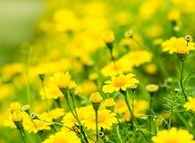 Fiore giallo nel chiangmai reale Tailandia della flora Fotografia Stock