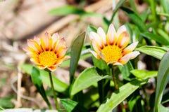 Fiore giallo nel giardino immagine stock libera da diritti