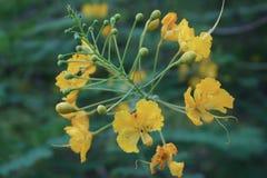 Fiore giallo nel giardino Fotografie Stock Libere da Diritti