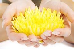 Fiore giallo nella donna han Immagine Stock Libera da Diritti
