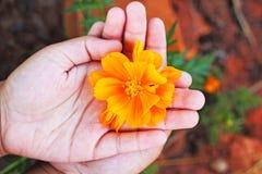 Fiore giallo nelle mani dei bambini. Fotografia Stock