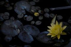 Fiore giallo nello stagno con le foglie intorno immagini stock libere da diritti