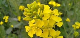 Fiore giallo, pianta gialla, albero di senape giallo immagini stock libere da diritti