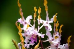 Fiore giallo porpora dell'orchidea fotografia stock