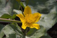 Fiore giallo in primavera Fotografia Stock Libera da Diritti