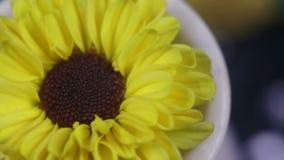 Fiore giallo Santini, macro fucilazione video d archivio