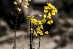 Fiore giallo sbocciante della primavera Fotografia Stock Libera da Diritti