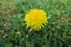 Fiore giallo sopra un campo di erba Fotografie Stock Libere da Diritti