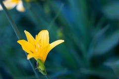 Fiore giallo su un fondo di verde bluastro fotografia stock libera da diritti