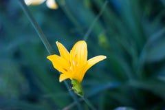Fiore giallo su un fondo di verde bluastro immagine stock