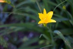 Fiore giallo su un fondo di verde bluastro fotografie stock libere da diritti