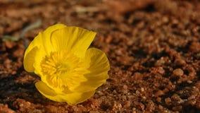 Fiore giallo su un pavimento Fotografia Stock Libera da Diritti