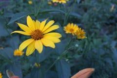Fiore giallo sui precedenti blu Fotografia Stock