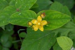 Fiore giallo sulle foglie verdi Fotografia Stock Libera da Diritti