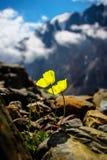 Fiore giallo sulle rocce in alpi immagine stock libera da diritti