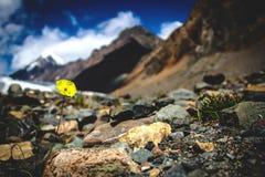 Fiore giallo sulle rocce in alpi Fotografia Stock Libera da Diritti