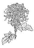 Fiore giapponese del crisantemo Fotografia Stock