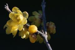 Fiore giapponese del wintersweet sul nero fotografia stock