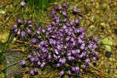 Fiore giapponese dell'allium Fotografia Stock Libera da Diritti