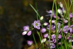 Fiore giapponese dell'allium Immagini Stock Libere da Diritti