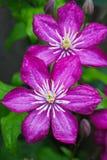 Fiore giapponese della clematide Fotografie Stock