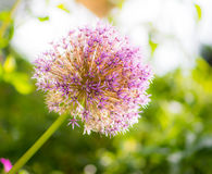 Fiore gigante del fiore della cipolla Immagine Stock Libera da Diritti