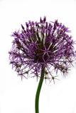 Fiore gigante dell'allium Fotografie Stock Libere da Diritti