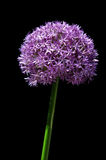 Fiore gigante dell'allium Fotografia Stock