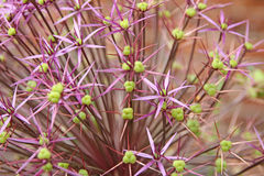 Fiore gigante della testa dell'allium Fotografia Stock