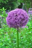 Fiore gigante di porpora del pompon dell'allium Fotografie Stock