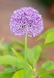 Fiore gigante porpora della cipolla Immagine Stock Libera da Diritti