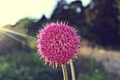 Fiore gonfio rosa Fotografia Stock