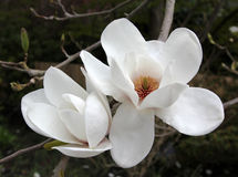 Fiore grandiflora della magnolia Immagine Stock