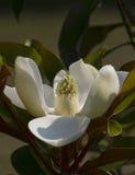 Fiore grandiflora della magnolia dell'Alabama Fotografie Stock