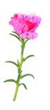 Fiore grandiflora di Portulaca immagine stock libera da diritti
