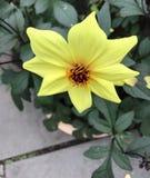 Fiore grazioso Confucio Immagini Stock