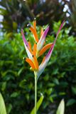 Fiore hawaiano Fotografia Stock