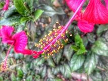 Fiore hawaiano dell'ibisco Immagine Stock Libera da Diritti
