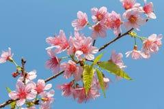 Fiore himalayano selvaggio della ciliegia Fotografie Stock Libere da Diritti