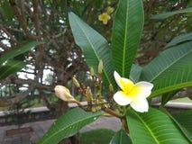 Fiore in Hue Vietnam Immagini Stock Libere da Diritti