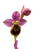Fiore ibrido di Oprhys x Turiana dell'orchidea selvatica sopra bianco Fotografia Stock Libera da Diritti