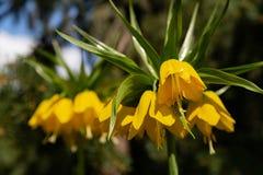 Fiore imperiale di Fritillaria giallo esotico su un fondo vago dei rami dell'abete immagini stock libere da diritti