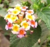 Fiore indiano della lantana Fotografia Stock