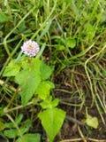 fiore indiano selvaggio immagine stock